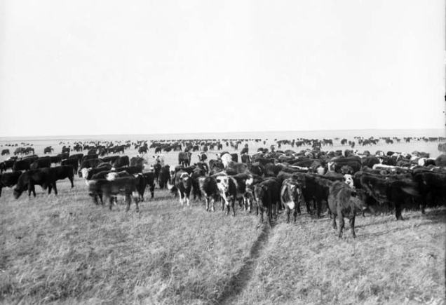 sss prairies cattle