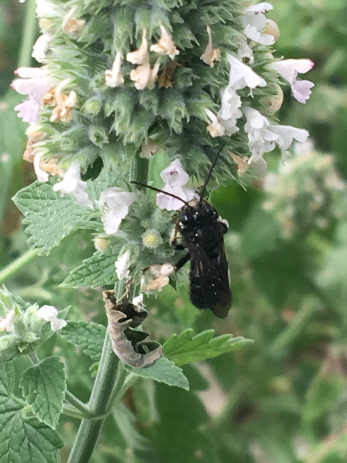 bee on catnip2