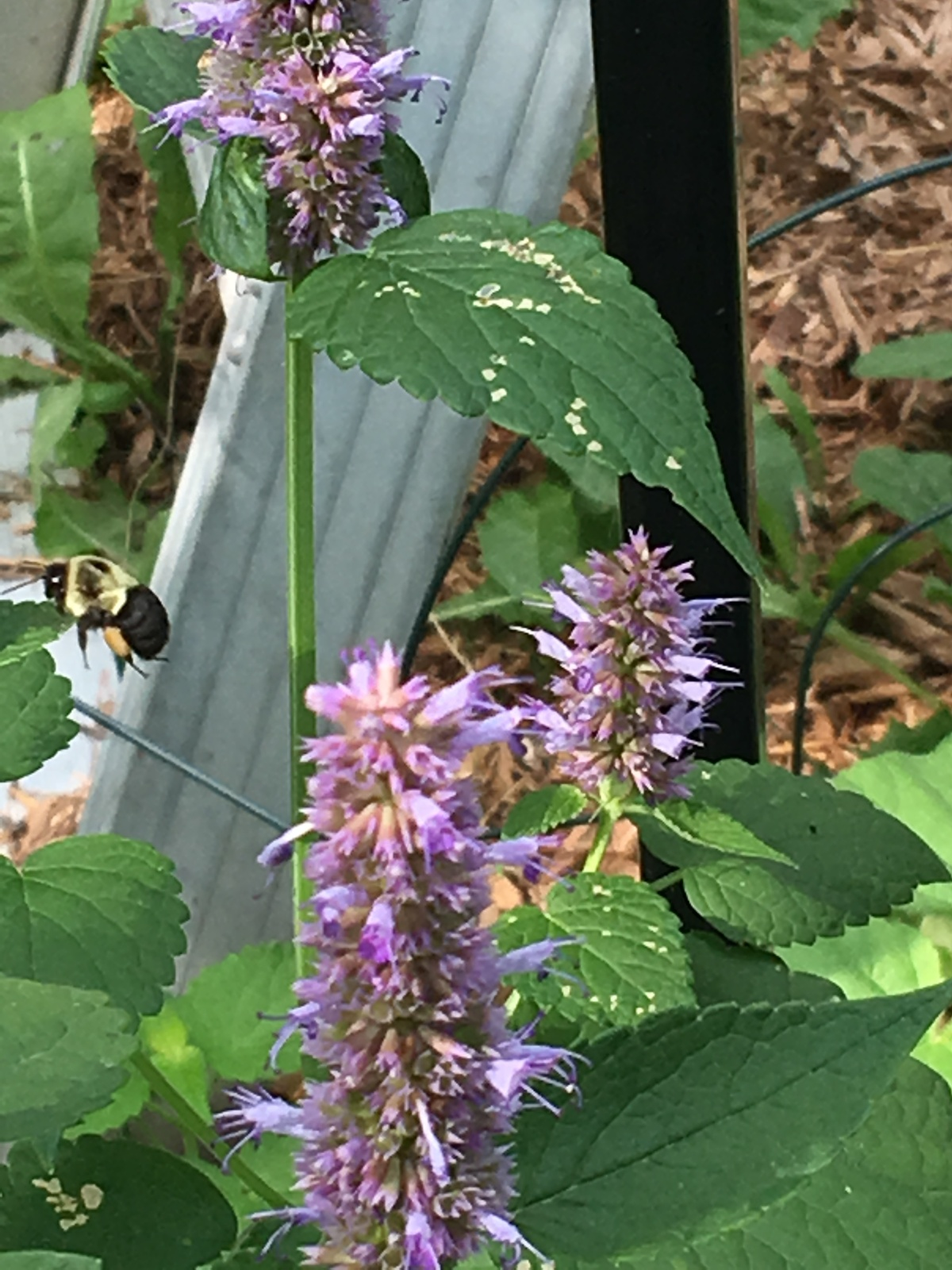anise hyssop bb flying